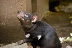 Um diabo tasmaniano fotos de stock