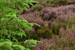 Um die Stadt von Scarborough in Großbritannien, Heide lizenzfreie stockfotografie