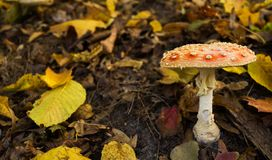 Um do muscaria o mais venenoso do amanita dos fungos, sabido geralmente como o agaric de mosca imagens de stock