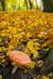 Um do muscaria o mais venenoso do amanita dos fungos, sabido geralmente como o agaric de mosca fotografia de stock