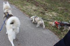 Um dogwalker que passa o tempo com três cães em um parque urbano em um dia ensolarado foto de stock royalty free