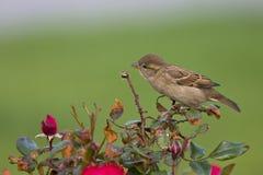 Um domesticus fêmea do transmissor do pardal de casa empoleirado em um ramo de um arbusto anca cor-de-rosa Atrás do pássaro um fu fotos de stock royalty free