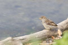 Um domesticus fêmea do transmissor do pardal de casa empoleirou-se em um ramo para beber alguma água fora do rio fotografia de stock royalty free