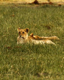 Um dos cinco grandes Lion Pride imagem de stock