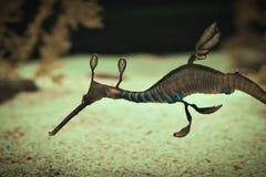 Um dragão bonito do mar fotografia de stock royalty free