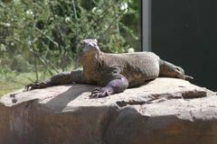 Um dragão de Komodo coloca no sol em uma grande rocha Fotografia de Stock