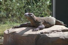 Um dragão de Komodo encontra-se pacificamente na luz solar em uma grande rocha Fotografia de Stock