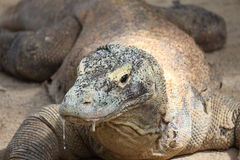 Dragão de Komodo Fotos de Stock