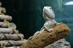 Um dragão dos rankin está descansando em um ramo que olha nobre imagens de stock royalty free