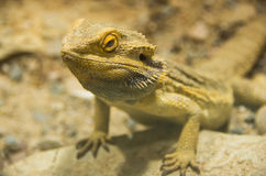 Um dragão farpado central em uma rocha Foto de Stock