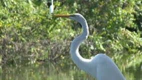 Um egret branco em um lago video estoque