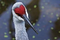 Um Egret contemplativo em uma lagoa de Bokah Imagens de Stock