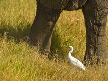 Um Egret de gado entre colunas do elefante Foto de Stock Royalty Free