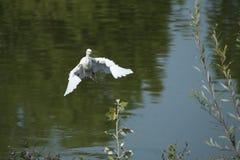 Um egret de gado novo Imagem de Stock Royalty Free
