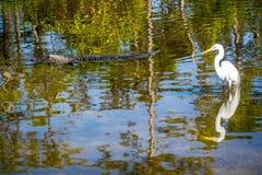 Um Egret de Great White em Orlando, Florida imagem de stock royalty free