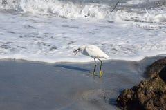 Um Egret faz seu melhor para devorar a vida onde marinha pequena apenas pegarou Foto de Stock Royalty Free