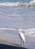 Um egret nevado curioso Foto de Stock
