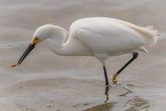 Um egret nevado que come um peixe imagem de stock