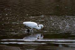 Um Egret nevado que tenta travar um peixe na bolha encheu a água fotos de stock