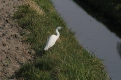 Um egret pequeno ao lado da vala fotos de stock royalty free