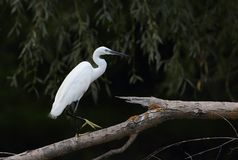 Um Egret pequeno que senta-se em um ramo Fotografia de Stock