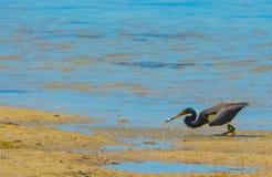 Um Egretta da garça-real de Tricolored tricolor na reserva aquática da baía do limão em Cedar Point Environmental Park, Sarasota  Fotografia de Stock