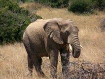 Um elefante Fotografia de Stock