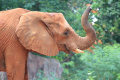 Um elefante africano Foto de Stock