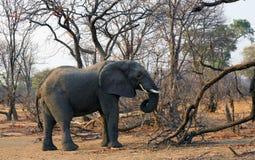 Um elefante africano Imagens de Stock Royalty Free