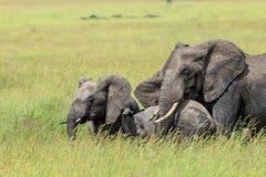 Um elefante africano de Bush com as duas gerações que protegem a vitela pequena imagem de stock
