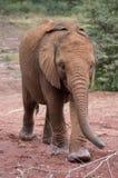 Um elefante africano novo que anda e que balança seu tronco Imagens de Stock Royalty Free