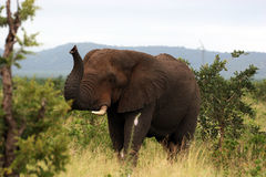 Um elefante africano que diz o olá! Fotos de Stock