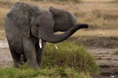 Um elefante do bebê de Serengati Tanzânia fotografia de stock