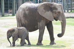 Um elefante do bebê pendura para fora com mamãe imagens de stock royalty free
