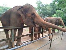 Um elefante está esperando pacientemente o alimento dos visitantes do jardim zoológico para fornecer algum alimento fotos de stock