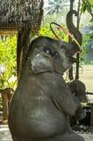 Um elefante girava a aro Foto de Stock