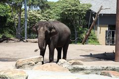 Um elefante no jardim zoológico Austrália de Taronga Fotografia de Stock