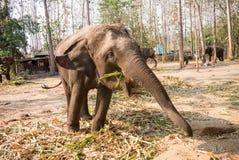 Um elefante novo Fotografia de Stock