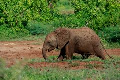Um elefante novo de Bush do africano que tem um banho de lama fotos de stock royalty free