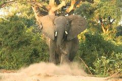 Um elefante que protege seu relvado fotos de stock royalty free