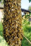 Um enxame das abelhas fotografia de stock