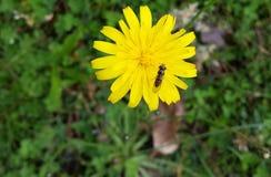 Um erro em uma flor do dente-de-leão Foto de Stock