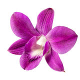 Um escarlate da flor da orquídea isolada no fundo branco Imagem de Stock Royalty Free