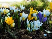 Um esclarecimento pequeno em que floresceram os açafrões coloridos da mola Fotografia de Stock