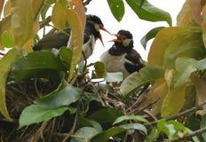 Um esforço inoperante do pintainho e de salvamento pelo pássaro da mamã fotos de stock royalty free