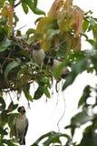 Um esforço inoperante do pintainho e de salvamento pelo pássaro da mamã fotografia de stock royalty free