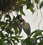 Um esforço inoperante do pintainho e de salvamento pelo pássaro da mamã fotografia de stock