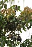 Um esforço inoperante do pintainho e de salvamento pelo pássaro da mamã foto de stock royalty free