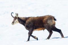 Um espécime de caminhadas da cabra-montesa na neve em cumes italianos Parque nacional de Gran Paradiso, Aosta, Itália imagem de stock