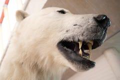 Um espécime do urso polar com mostrar dos dentes foto de stock royalty free